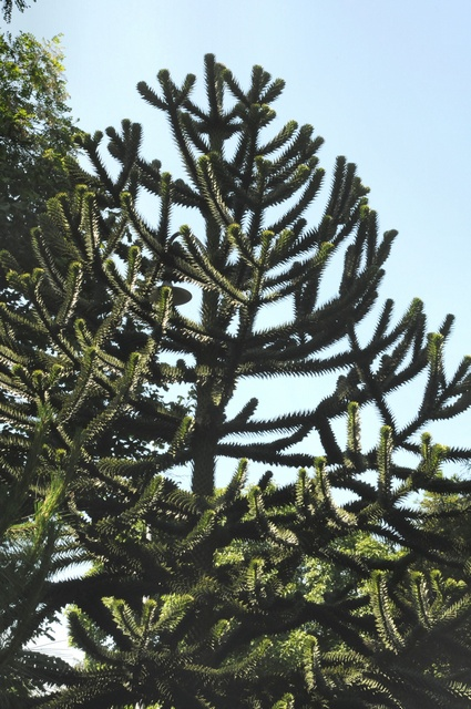 Monkey-Puzzle (Araucaria araucana) photo