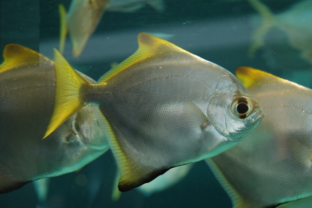 Silver Moony, Diamond moonfish (Monodactylus argenteus)