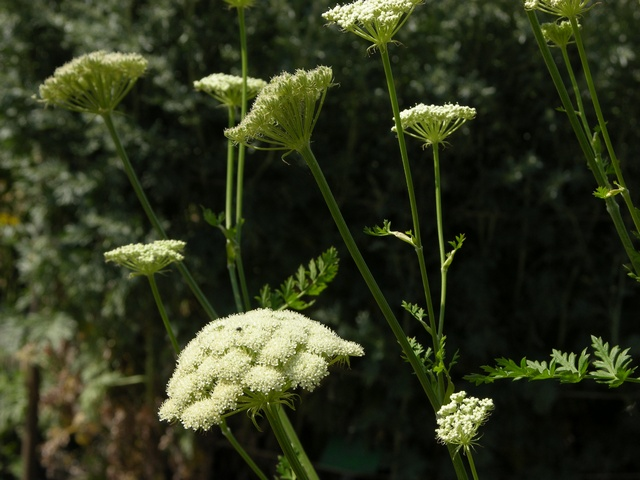 Moon Carrot (Seseli libanotis) photo