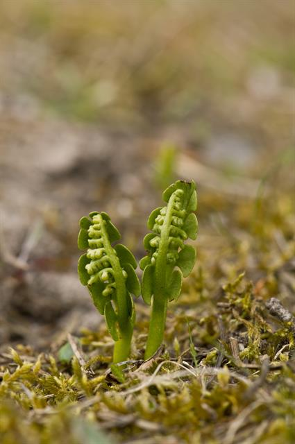 Moonwort (Botrychium lunaria) photo