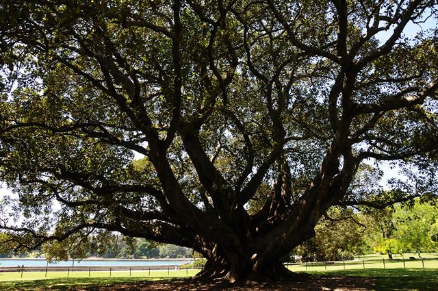 Moreton Bay Fig (Ficus macrophylla ssp. macrophylla) photo