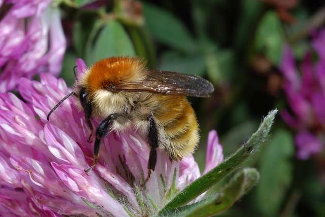 Moss carder bee (Bombus muscorum) photo