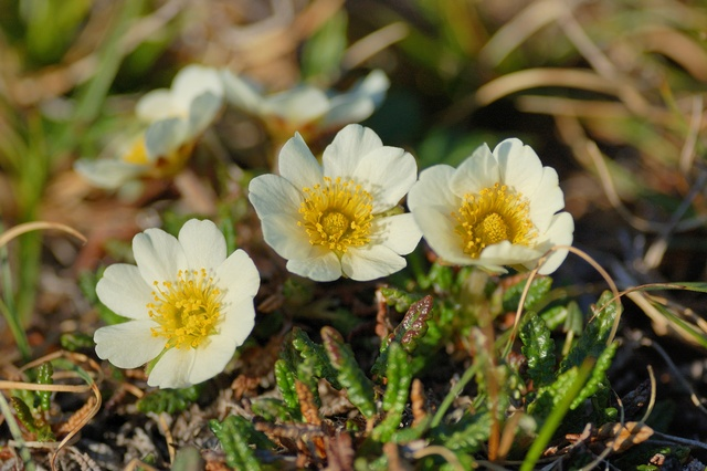 Mountain Avens (Dryas octopetala) photo