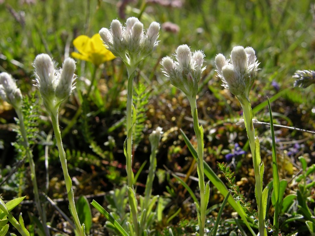 Mountain Everlasting (Antennaria dioica) photo