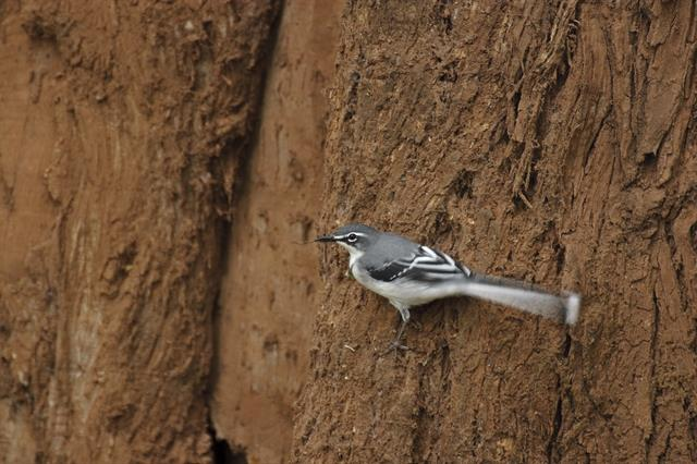 Mountain Wagtail (Motacilla clara) photo