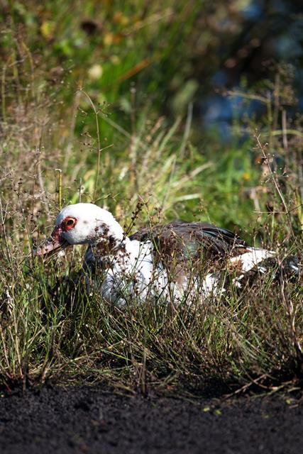Muscovy Duck (Cairina moschata) photo