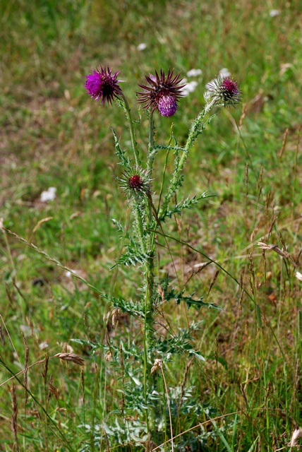Musk Thistle, Nodding Thistle (Carduus nutans) photo