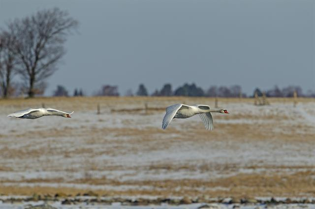 Mute Swan (Cygnus olor) photo
