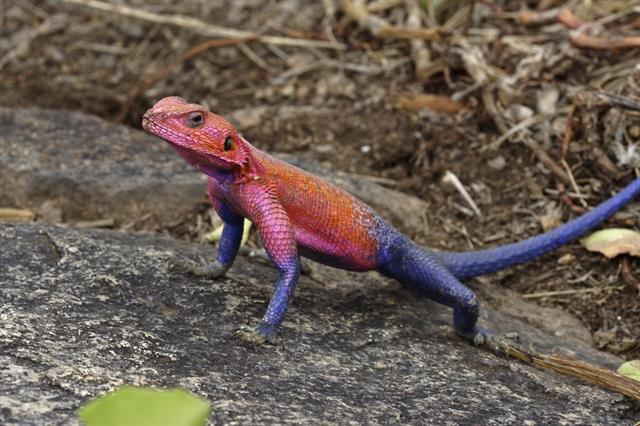 Mwanza flat-headed rock agama (Agama mwanzae) photo