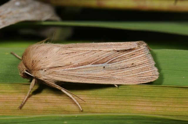 Common Wainscot (Mythimna pallens)