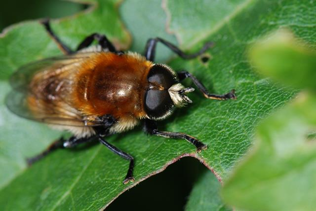 Narcissus bulb fly (Merodon equestris) photo