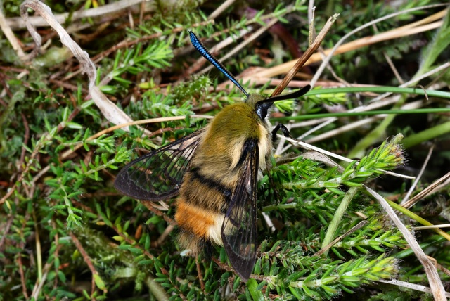 Narrow-bordered Bee Hawk-moth (Hemaris tityus) photo