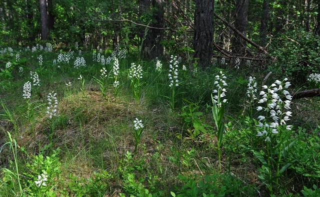 Narrow-leaved Helleborine (Cephalanthera longifolia) photo