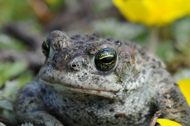 Natterjack Toad (Bufo calamita) photo