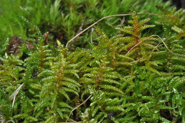 Neat Feather-moss (Scleropodium purum) photo