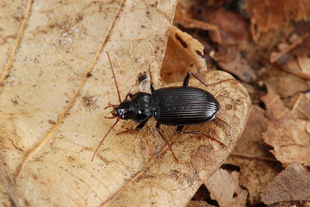 Nebria brevicollis photo