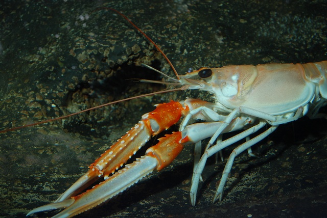 Norway lobster (Nephrops norvegicus)