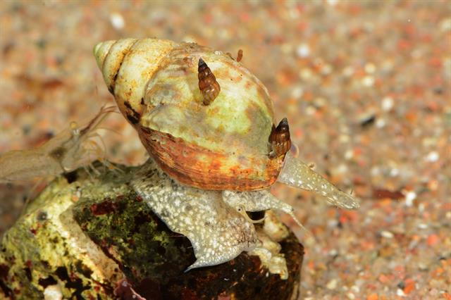 Netted dog whelk (Hinia reticulata) photo