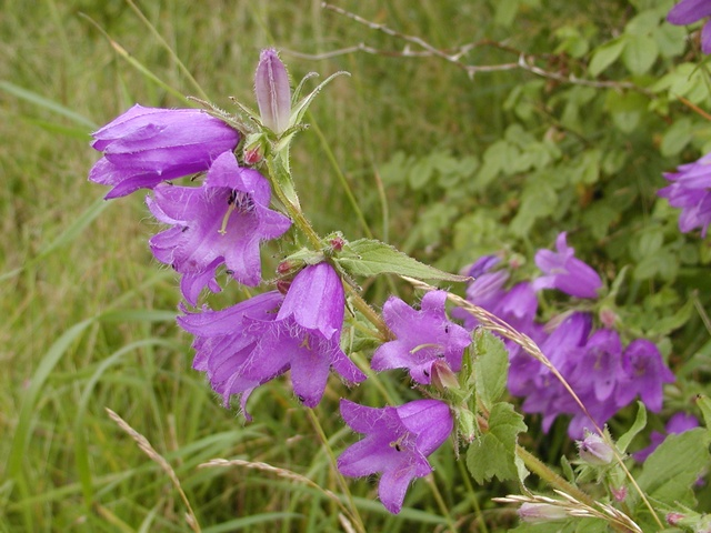 Nettle-leaved Bellflower (Campanula trachelium) photo