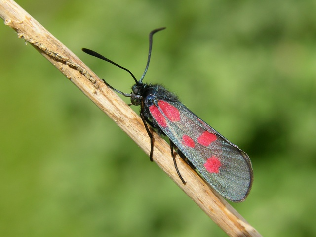 New Forest Burnet (Zygaena viciae) photo
