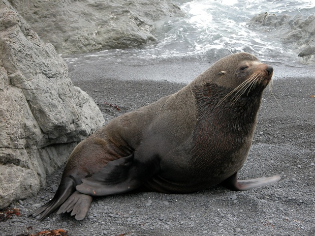 New Zealand Fur Seal (Arctocephalus fosteri) photo