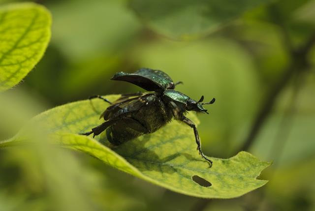 Noble chafer (Gnorimus nobilis) photo