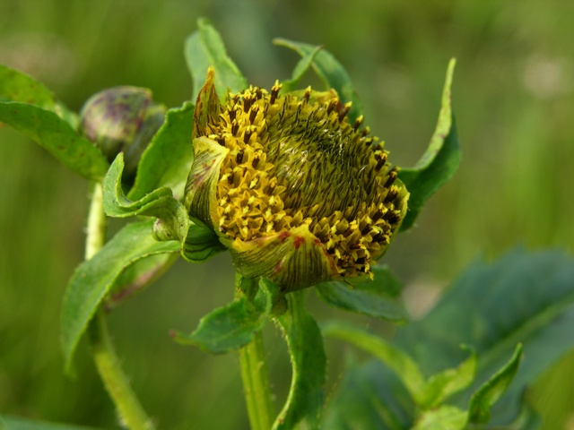Nodding Bur-Marigold (Bidens cernua) photo
