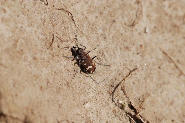 Northern dune tiger beetle (Cicindela hybrida) photo