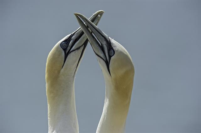 Northern Gannet (Morus bassanus) photo