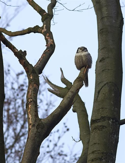 Northern Hawk Owl (Surnia ulula) photo