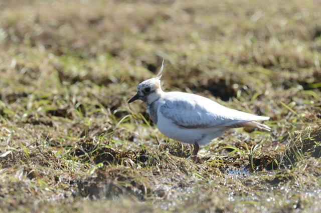 Northern Lapwing (Vanellus vanellus) photo