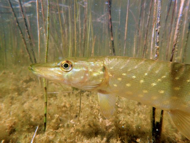 Northern pike  (Esox lucius) photo