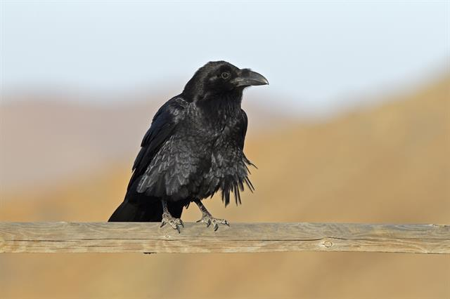 Northern Raven (Corvus corax ssp. tingitanus) photo