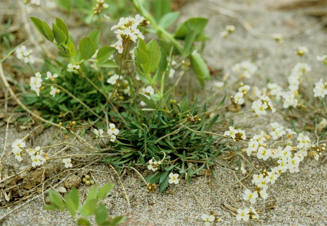 Northern Rock-cress (Cardaminopsis petraea) photo
