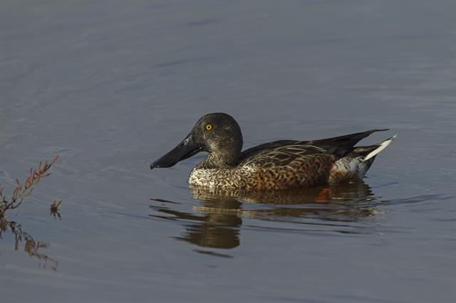 Northern Shoveler (Anas clypeata) photo