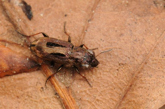 Notiophilus biguttatus photo