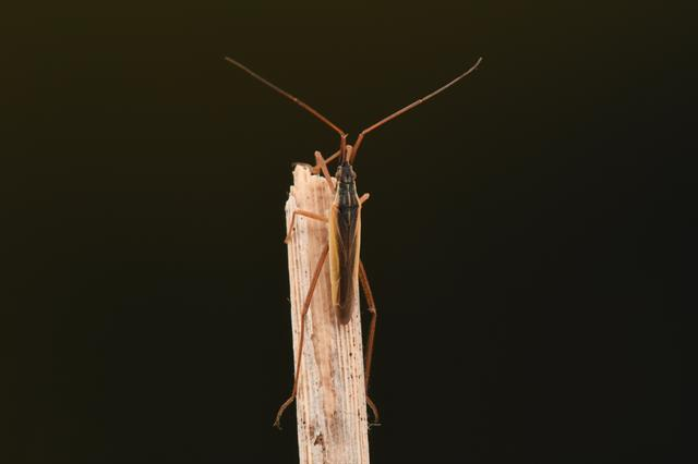Notostira elongata photo