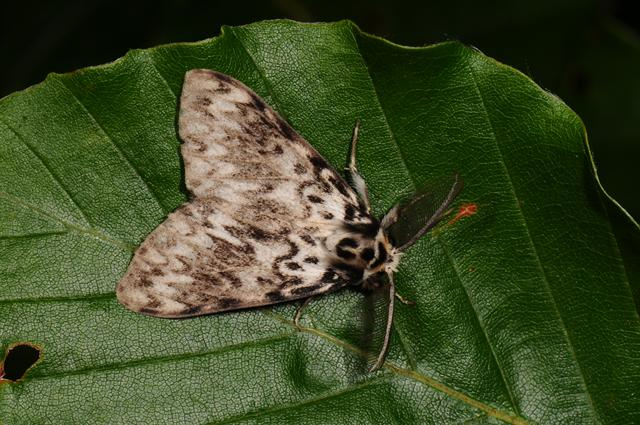Nun Moth (Lymantria monacha) photo
