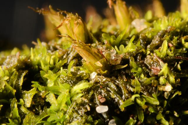 Nut-moss (Diphyscium foliosum) photo