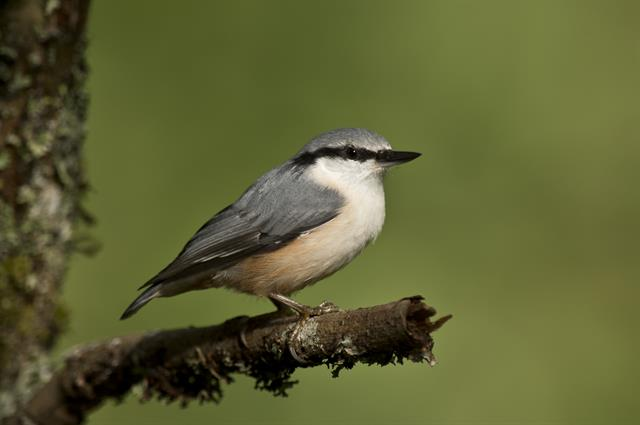 Nuthatch (Sitta europaea) photo