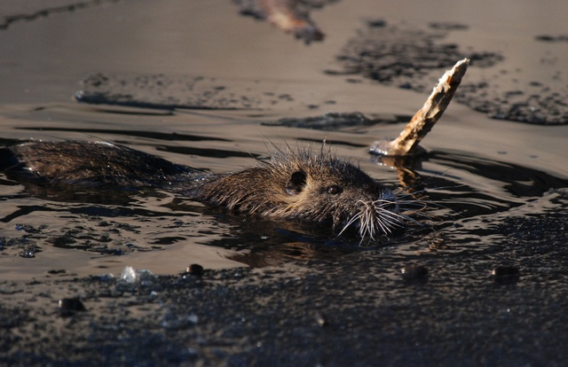 Nutria (Myocastor coypus) photo