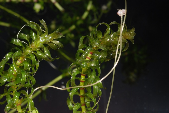 Nuttalls Waterweed (Elodea nuttallii) photo