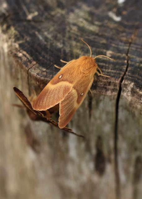 Oak Eggar (Lasiocampa quercus) photo
