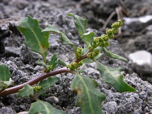 Oak-Leaved Goosefoot (Oxybasis glauca ssp. glauca) photo