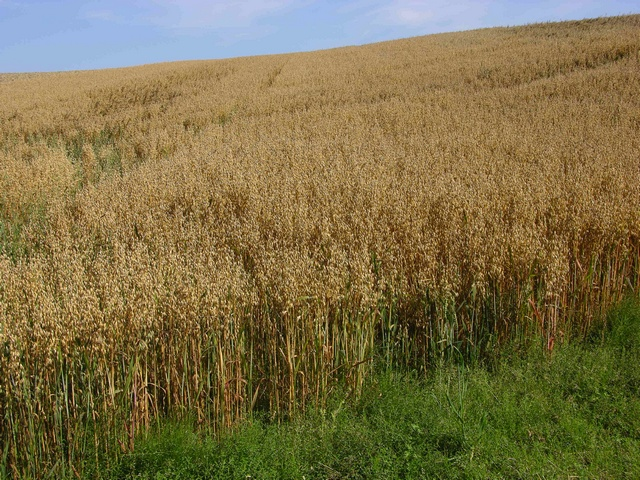 Oat (Avena sativa) photo