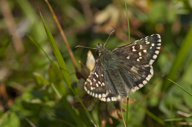 Oberthur´s Grizzled Skipper (Pyrgus armoricanus) photo