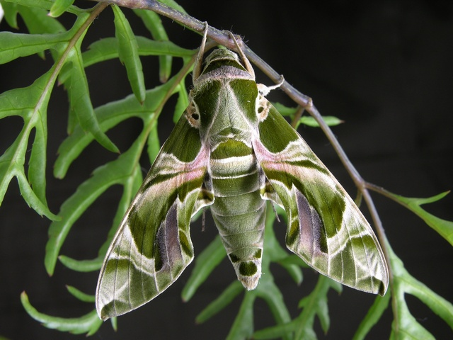 Oleander Hawk-moth (Daphnis nerii) photo