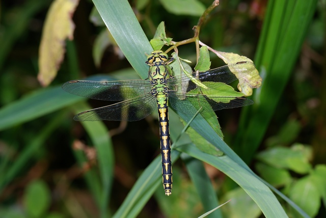 Ophiogomphus cecilia photo