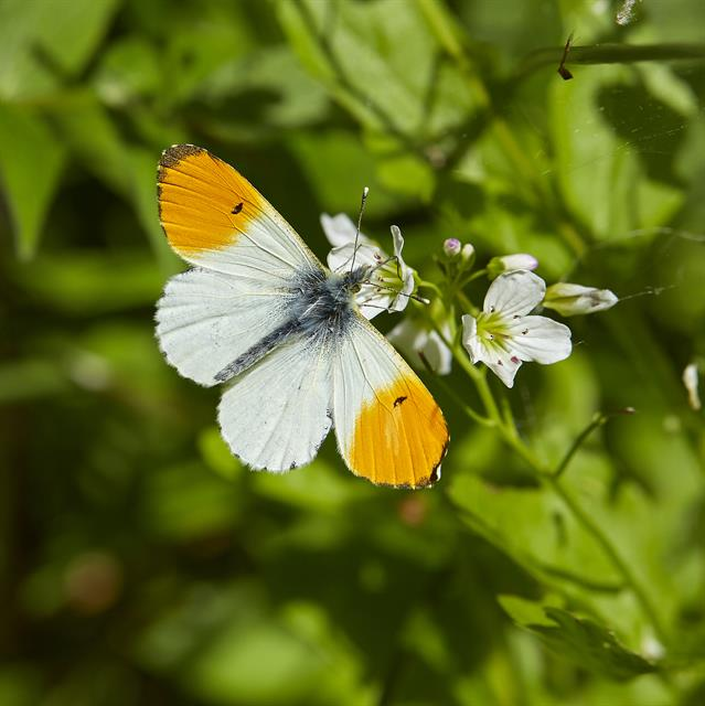 Orange Tip (Anthocharis cardamines) photo
