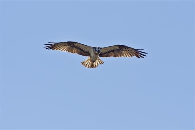 Osprey (Pandion haliaetus) photo